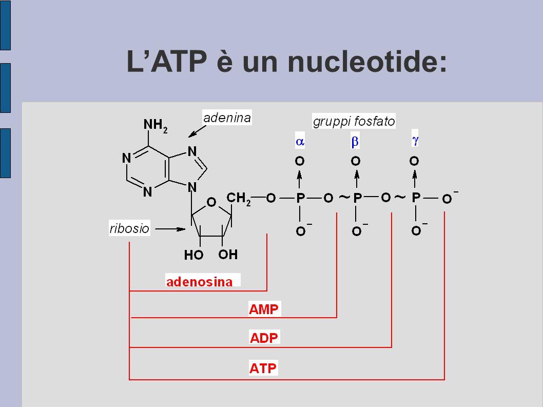 LATP è un nucleotide: