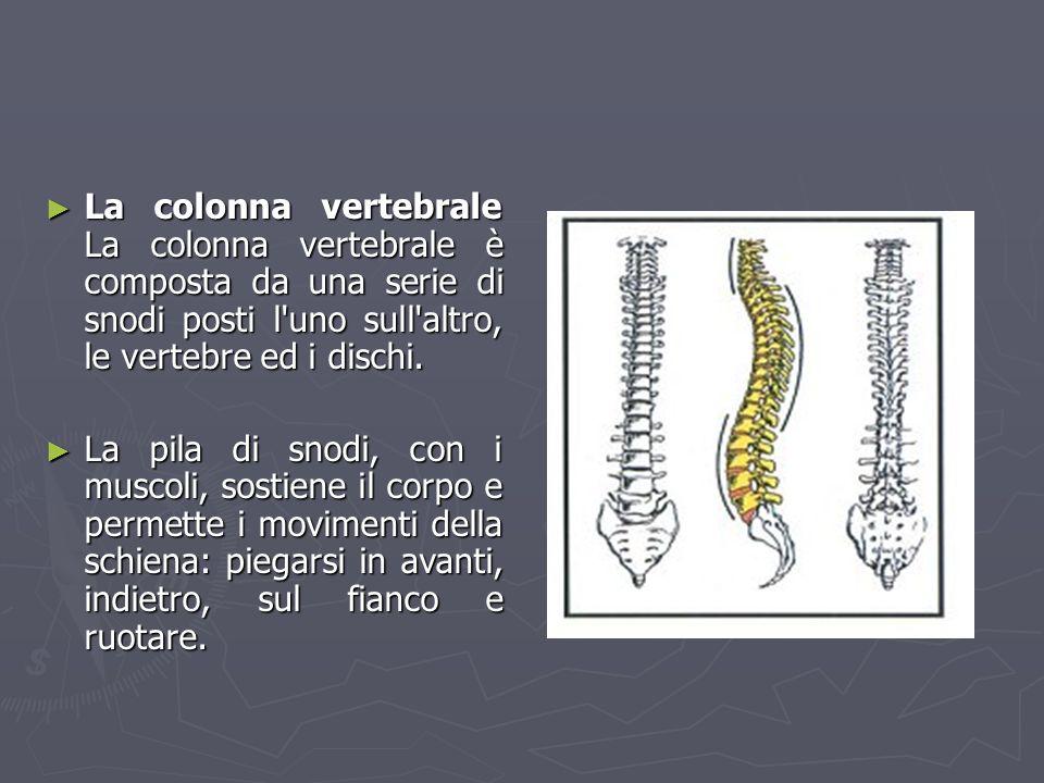 La colonna vertebrale La colonna vertebrale è composta da una serie di snodi posti l'uno sull'altro, le vertebre ed i dischi. La colonna vertebrale La