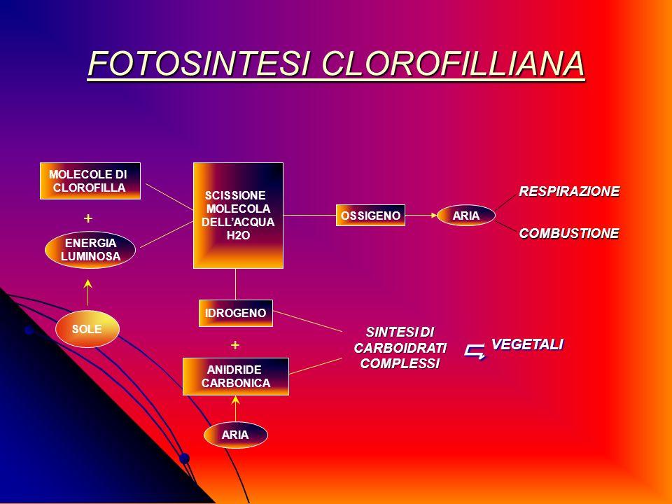FOTOSINTESI CLOROFILLIANA FOTOSINTESI CLOROFILLIANA MOLECOLE DI CLOROFILLA + ENERGIA LUMINOSA SOLE SCISSIONE MOLECOLA DELLACQUA H2O OSSIGENOARIA RESPI