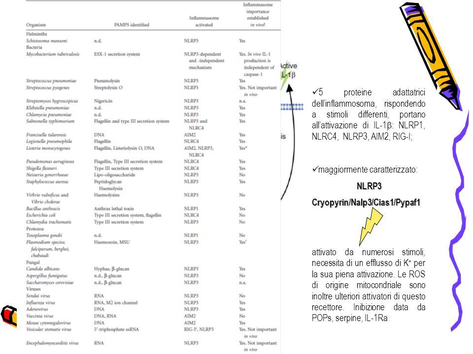 THE GOOD, … 5 proteine adattatrici dellinflammosoma, rispondendo a stimoli differenti, portano allattivazione di IL-1 : NLRP1, NLRC4, NLRP3, AIM2, RIG