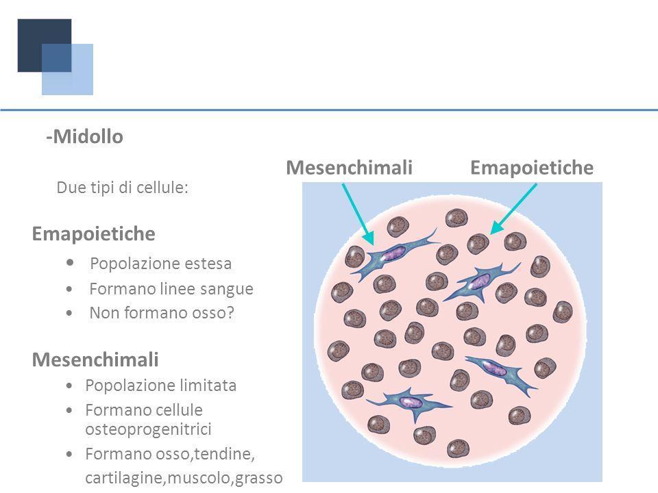 -Midollo Due tipi di cellule: Emapoietiche Popolazione estesa Formano linee sangue Non formano osso? Mesenchimali Popolazione limitata Formano cellule