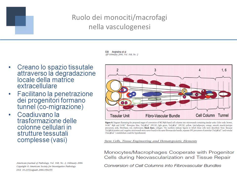 Ruolo dei monociti/macrofagi nella vasculogenesi Creano lo spazio tissutale attraverso la degradazione locale della matrice extracellulare Facilitano