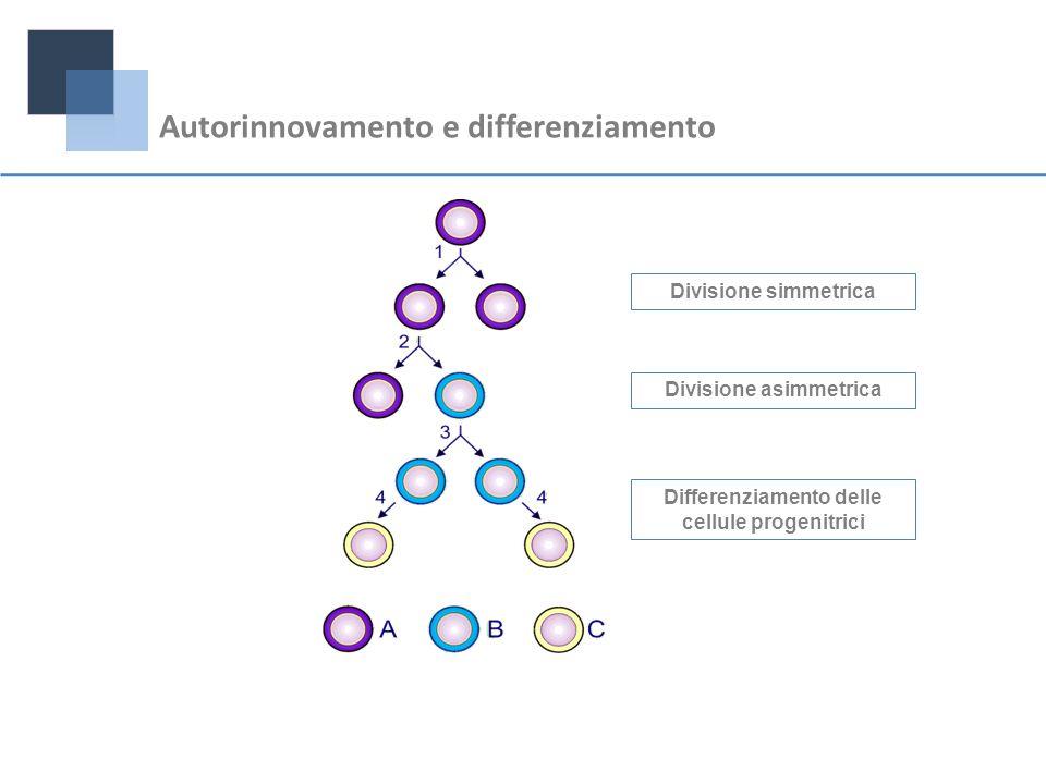Divisione simmetrica Divisione asimmetrica Differenziamento delle cellule progenitrici Autorinnovamento e differenziamento