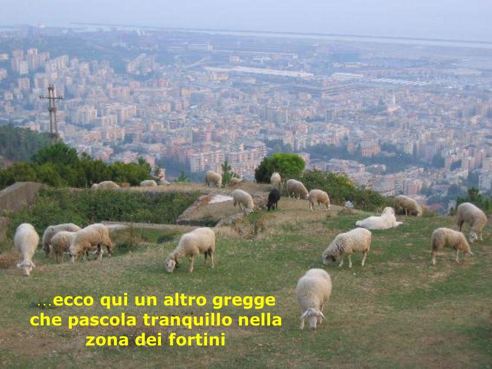 In una zona di prateria sotto alla chiesetta di San Rocco, un gregge di pecore pascolava tranquillamente brucando la poca vegetazione rimasta, per for