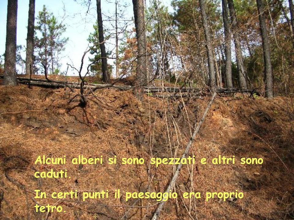 Ai lati della strada molta pineta è stata distrutta, i pini bruciati sono diventati degli stecchini anneriti Avete visto quali danni ha provocato lincendio.