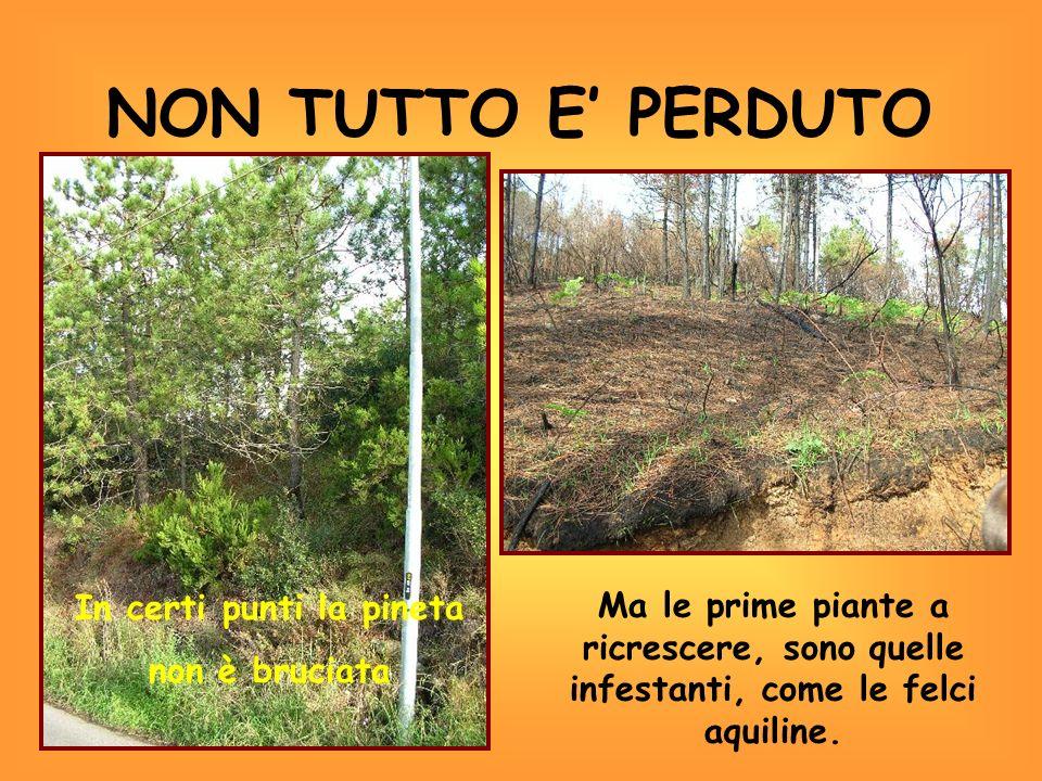NON TUTTO E PERDUTO In certi punti la pineta non è bruciata Ma le prime piante a ricrescere, sono quelle infestanti, come le felci aquiline.