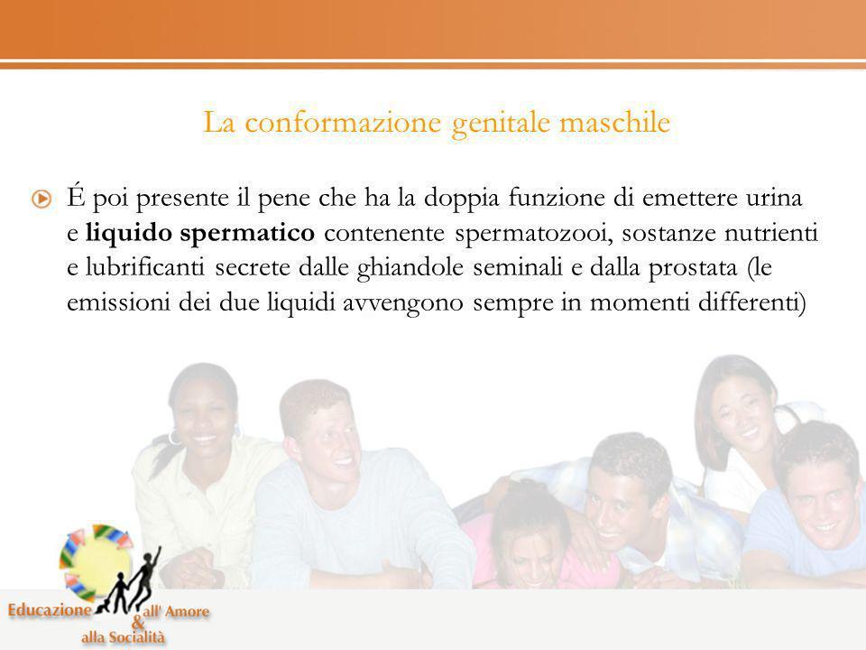 La conformazione genitale maschile É poi presente il pene che ha la doppia funzione di emettere urina e liquido spermatico contenente spermatozooi, so