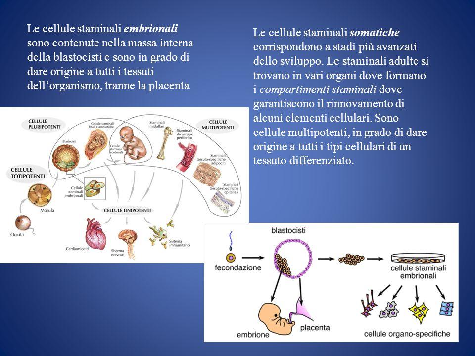 Le cellule staminali embrionali sono contenute nella massa interna della blastocisti e sono in grado di dare origine a tutti i tessuti dellorganismo,