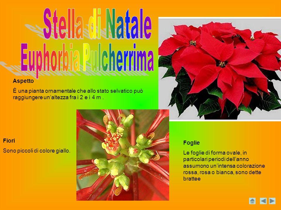 Aspetto È una pianta ornamentale che allo stato selvatico può raggiungere unaltezza fra i 2 e i 4 m.