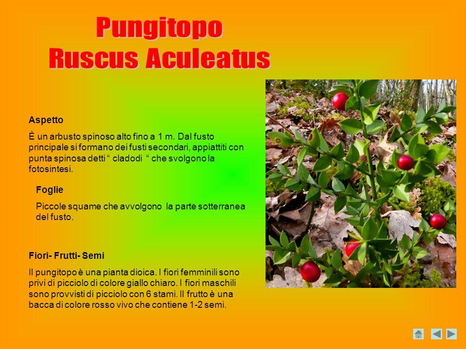 Aspetto È un arbusto spinoso alto fino a 1 m.