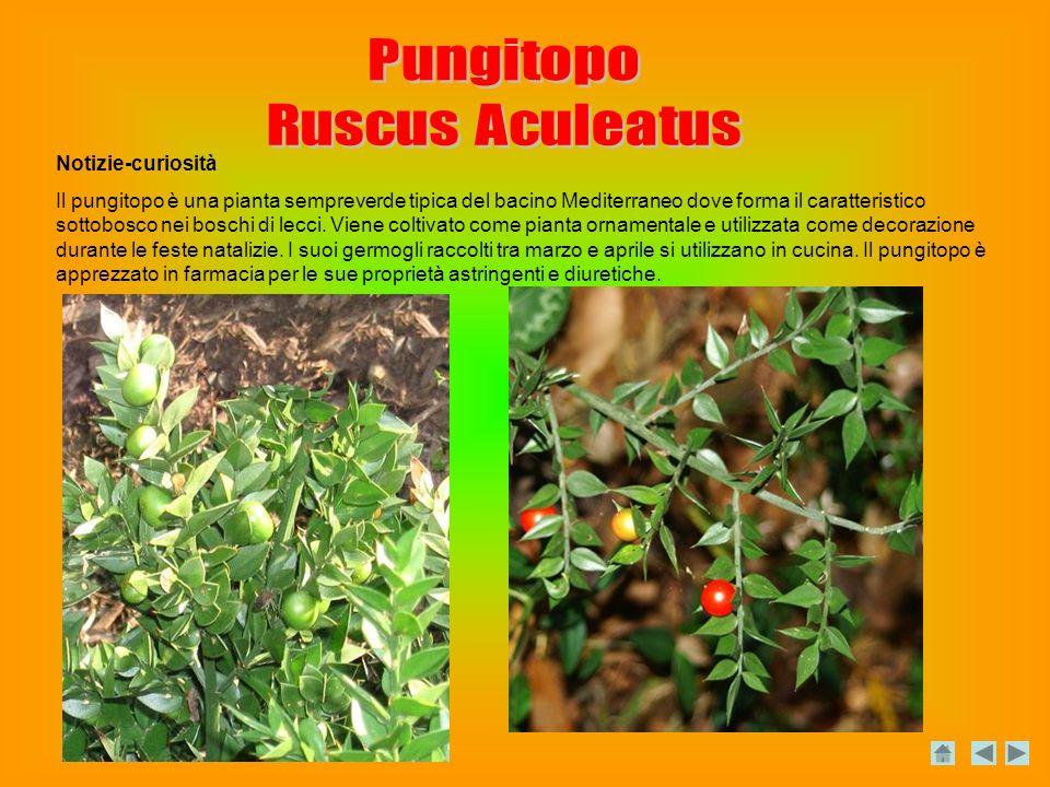 Notizie-curiosità Il pungitopo è una pianta sempreverde tipica del bacino Mediterraneo dove forma il caratteristico sottobosco nei boschi di lecci.
