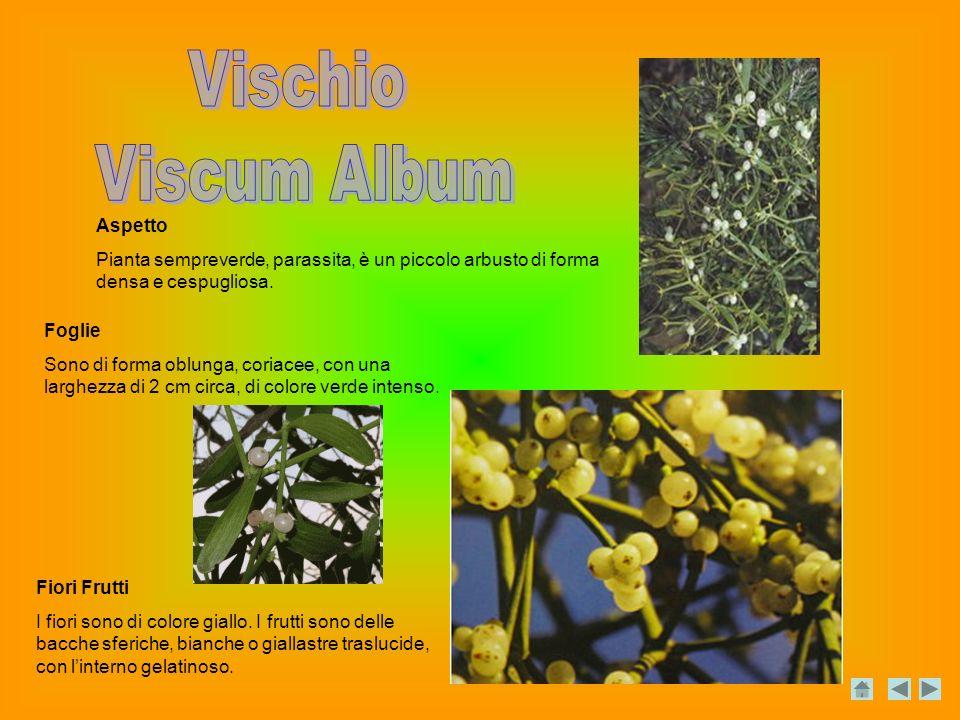 Aspetto Pianta sempreverde, parassita, è un piccolo arbusto di forma densa e cespugliosa.