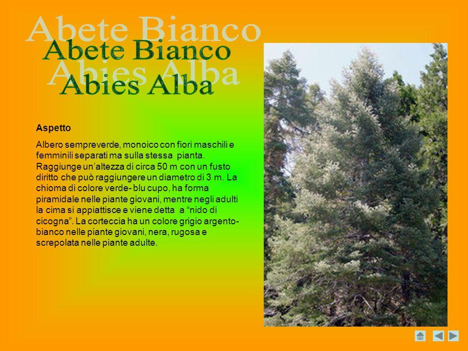 Aspetto Albero sempreverde, monoico con fiori maschili e femminili separati ma sulla stessa pianta.