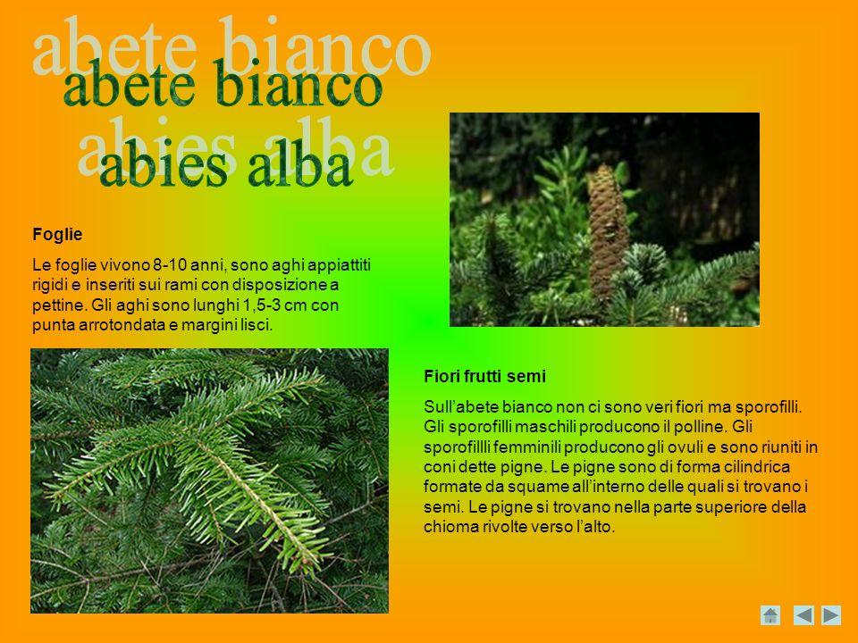 Foglie Le foglie vivono 8-10 anni, sono aghi appiattiti rigidi e inseriti sui rami con disposizione a pettine.