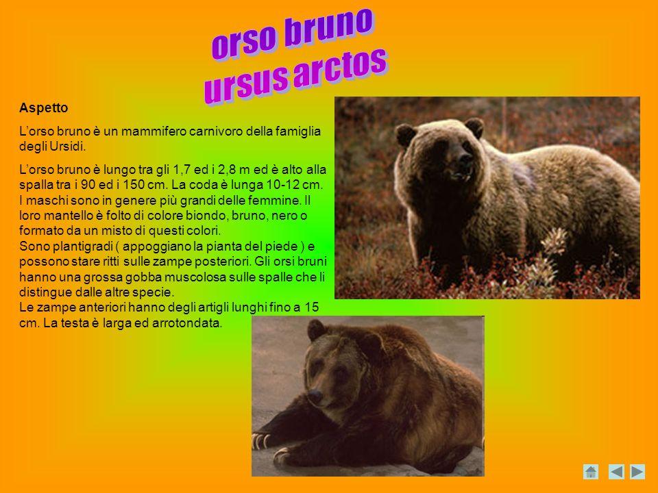Aspetto Lorso bruno è un mammifero carnivoro della famiglia degli Ursidi.