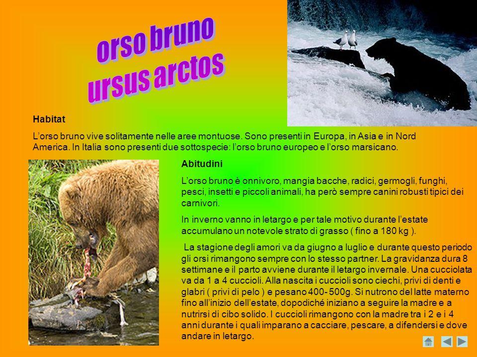 Habitat Lorso bruno vive solitamente nelle aree montuose.