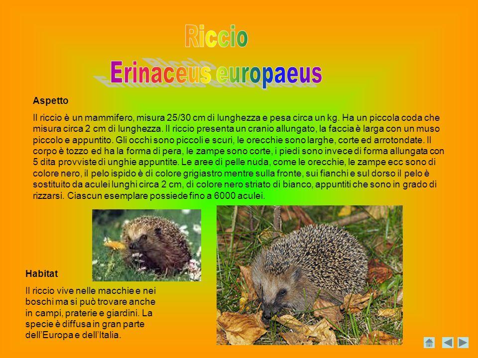 Aspetto Il riccio è un mammifero, misura 25/30 cm di lunghezza e pesa circa un kg.