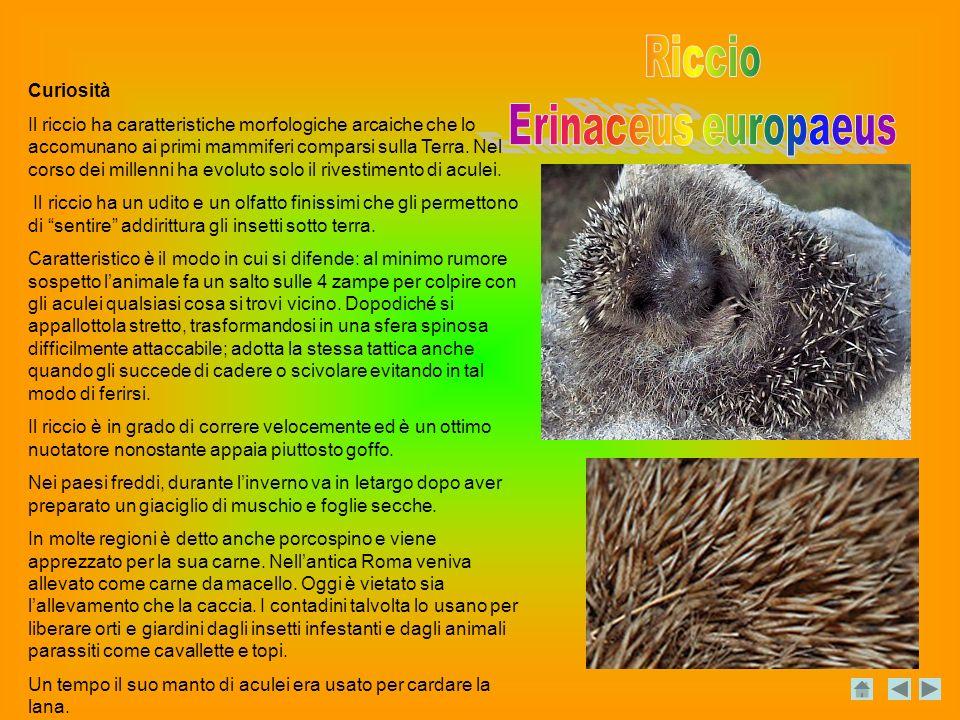 Curiosità Il riccio ha caratteristiche morfologiche arcaiche che lo accomunano ai primi mammiferi comparsi sulla Terra.