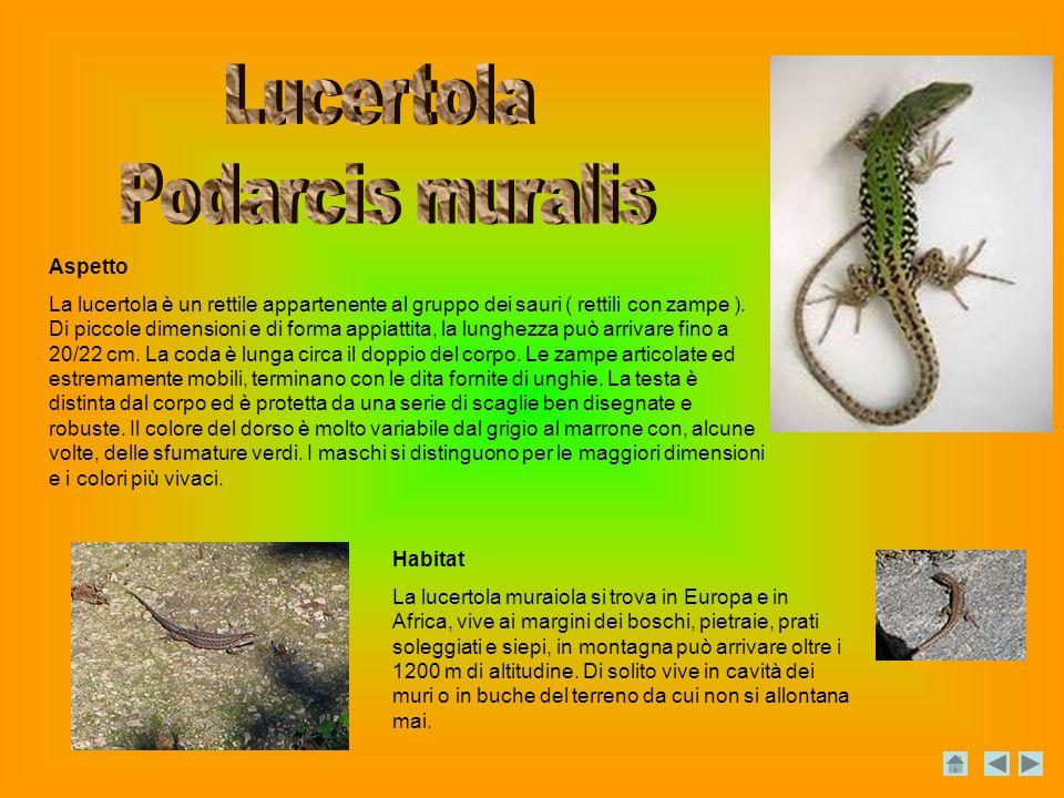 Aspetto La lucertola è un rettile appartenente al gruppo dei sauri ( rettili con zampe ).