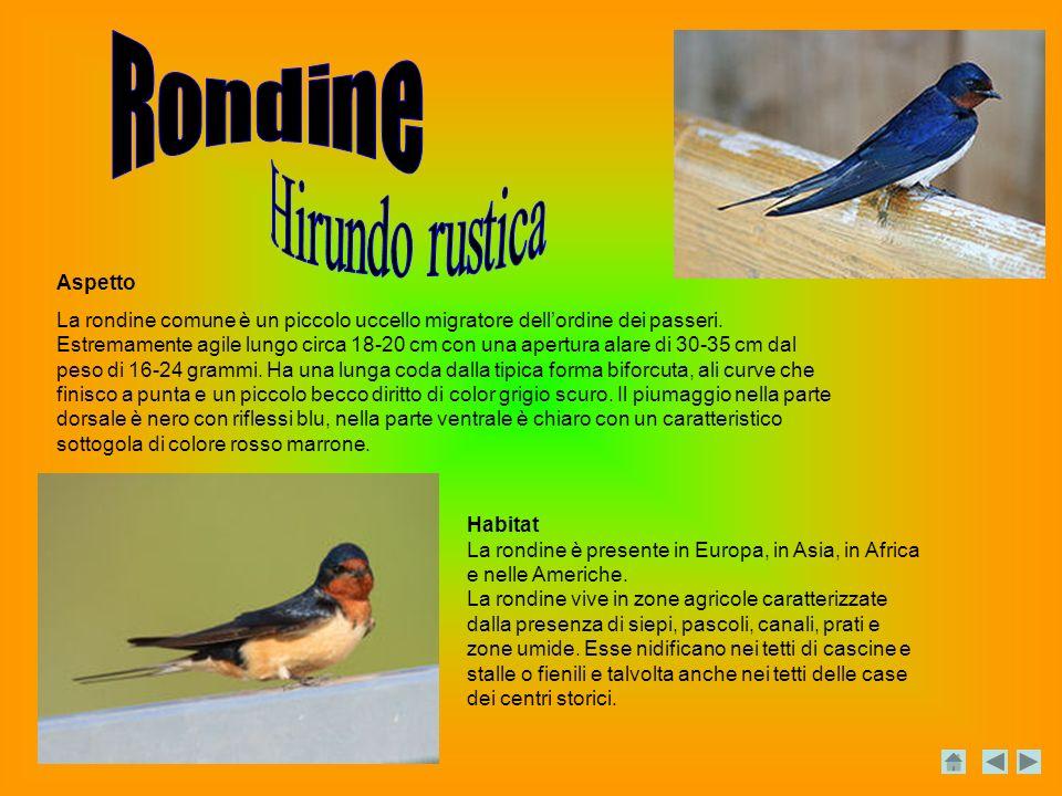 Aspetto La rondine comune è un piccolo uccello migratore dellordine dei passeri.