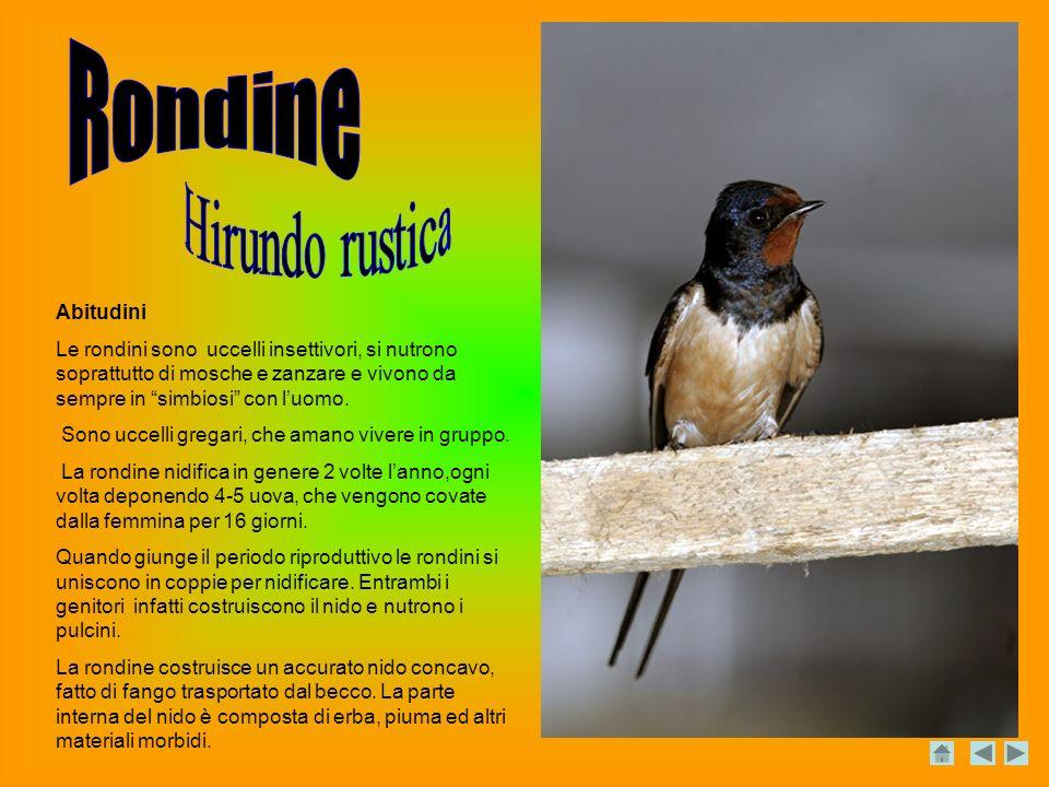 Abitudini Le rondini sono uccelli insettivori, si nutrono soprattutto di mosche e zanzare e vivono da sempre in simbiosi con luomo.