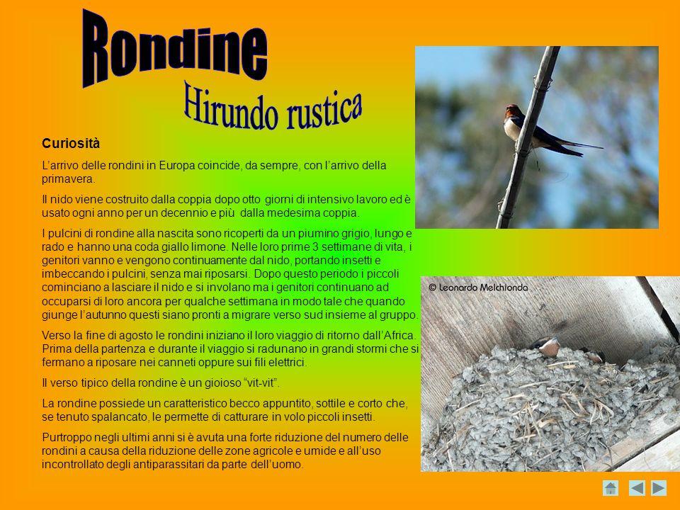 Curiosità Larrivo delle rondini in Europa coincide, da sempre, con larrivo della primavera.