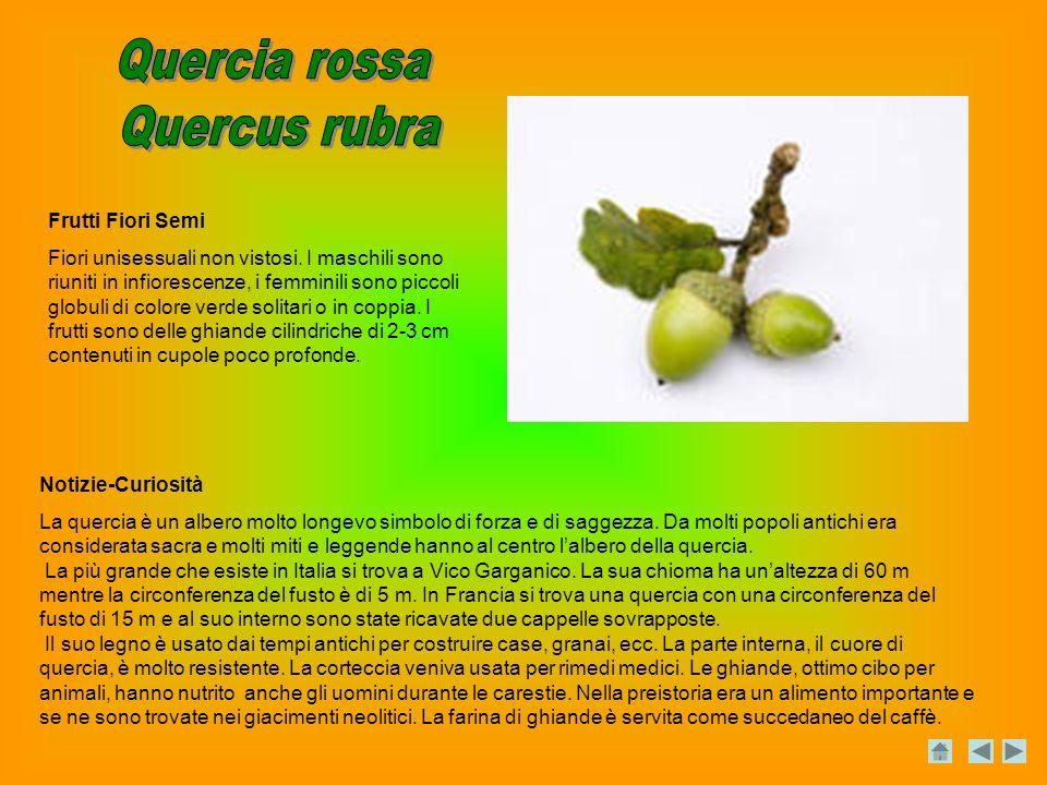 Notizie-Curiosità La quercia è un albero molto longevo simbolo di forza e di saggezza.