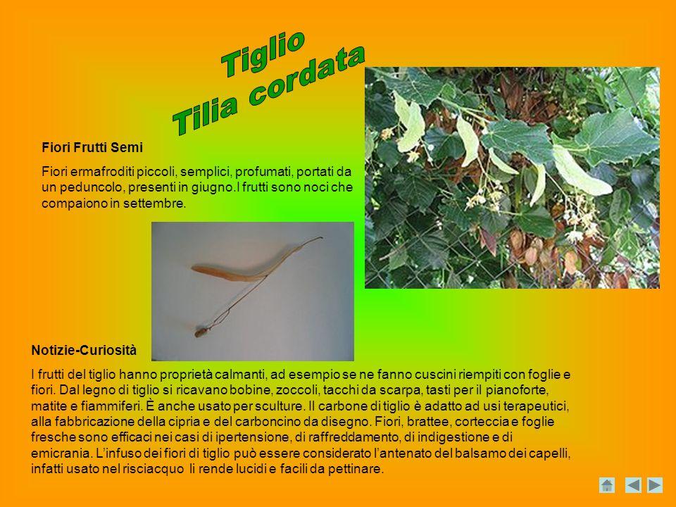 Notizie-Curiosità I frutti del tiglio hanno proprietà calmanti, ad esempio se ne fanno cuscini riempiti con foglie e fiori.