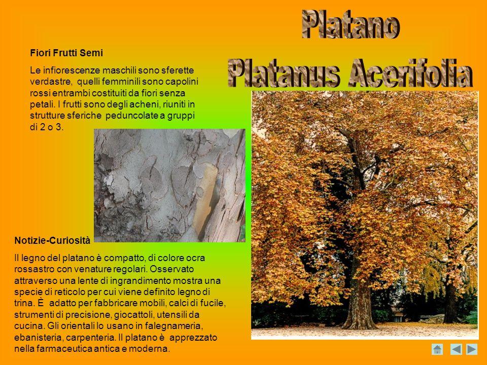 Notizie-Curiosità Il legno del platano è compatto, di colore ocra rossastro con venature regolari.