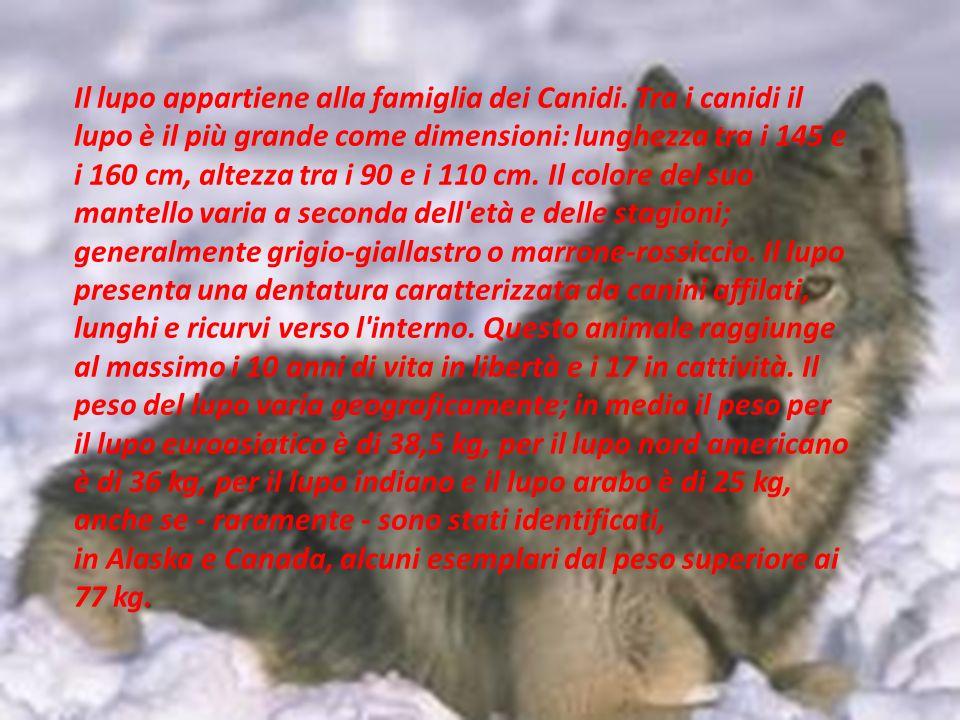 . Il lupo appartiene alla famiglia dei Canidi. Tra i canidi il lupo è il più grande come dimensioni: lunghezza tra i 145 e i 160 cm, altezza tra i 90