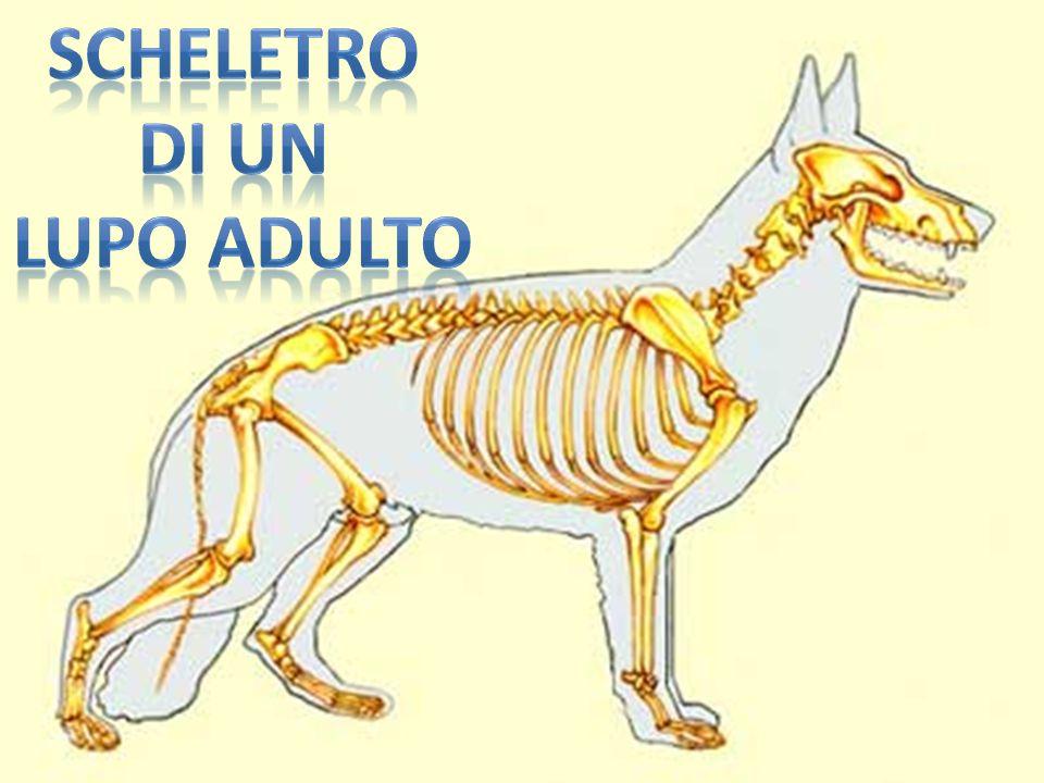 La funzione di ogni lupo è organizzata all interno di un branco, con una struttura sociale fortemente gerarchica.