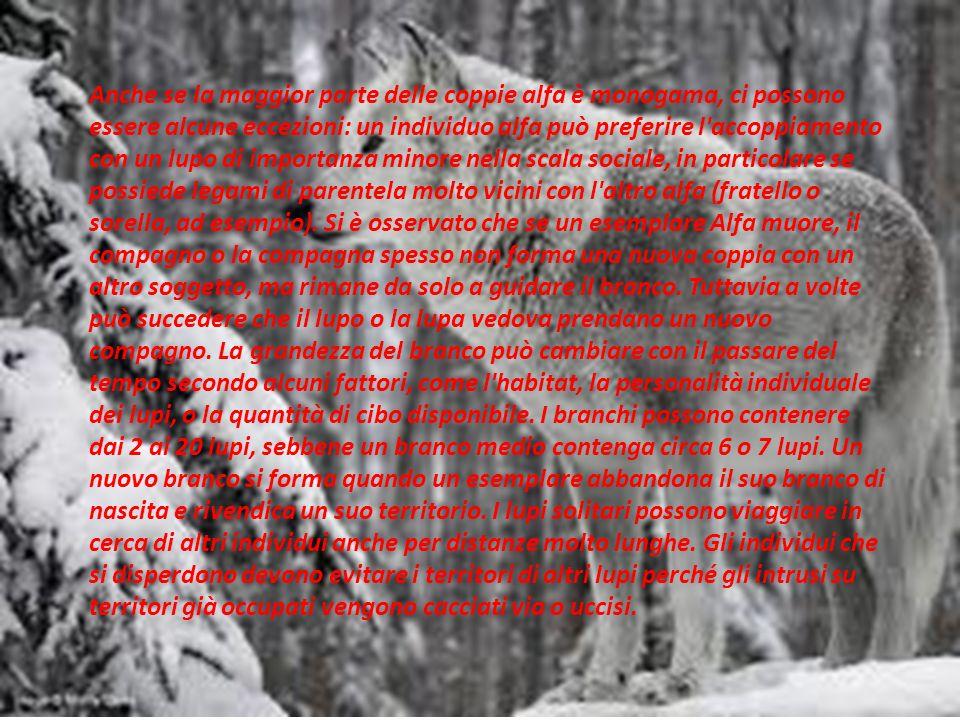 L habitat preferito dal lupo è caratterizzato da aree di pianura, foreste montane e radure.