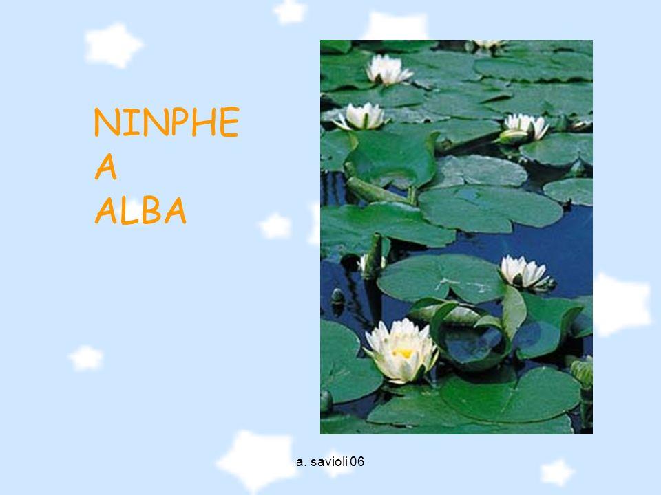 a. savioli 06 NINPHE A ALBA