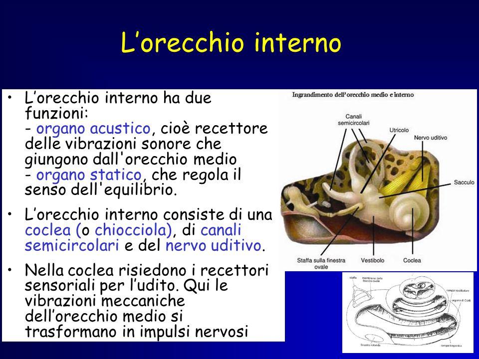 Lorecchio interno Lorecchio interno ha due funzioni: - organo acustico, cioè recettore delle vibrazioni sonore che giungono dall'orecchio medio - orga