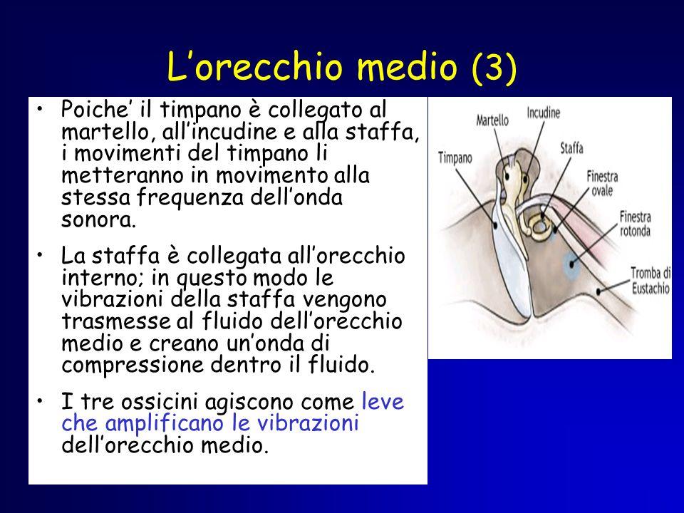 Lorecchio medio (3) Poiche il timpano è collegato al martello, allincudine e alla staffa, i movimenti del timpano li metteranno in movimento alla stes