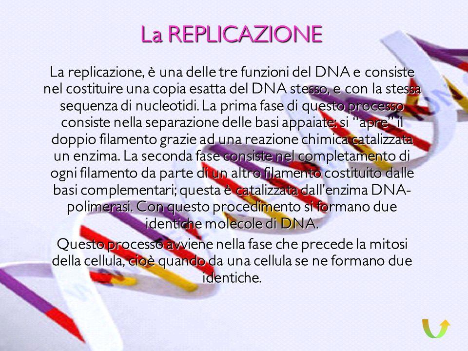 La DOPPIA ELICA La doppia elica è paragonata ad una scala a chiocciola, nella quale, la ringhiera è costituita da le molecole di acido fosforico e di