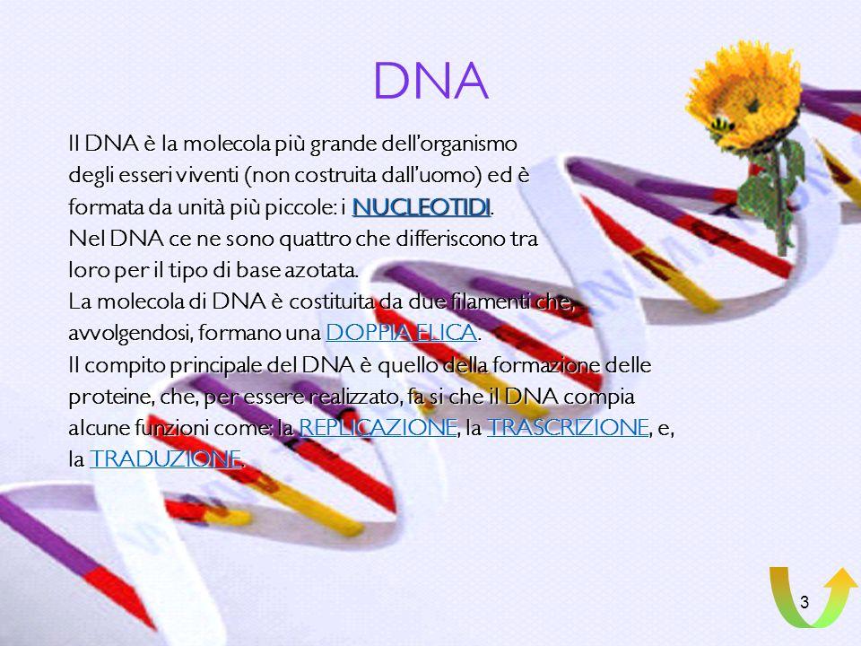 2 CROMATINA In tutte le cellule è presente la cromatina, una sostanza colorabile, che forma i cromosomi (nelle cellule eucariote), nei quali troviamo