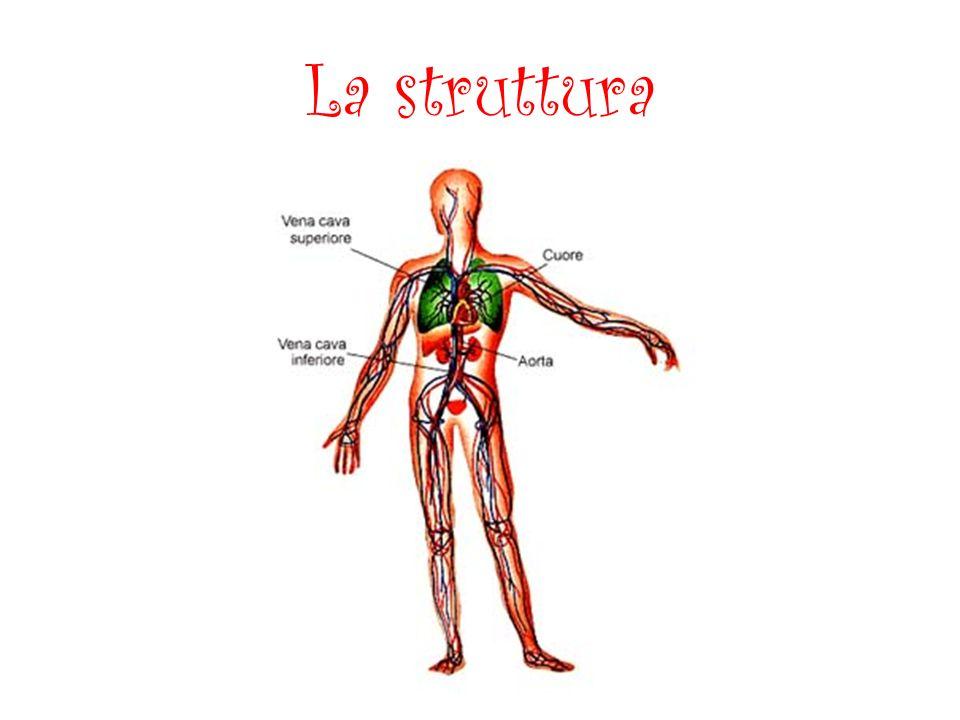 Il Sangue La quantità di sangue è proporzionale alla massa corporea.