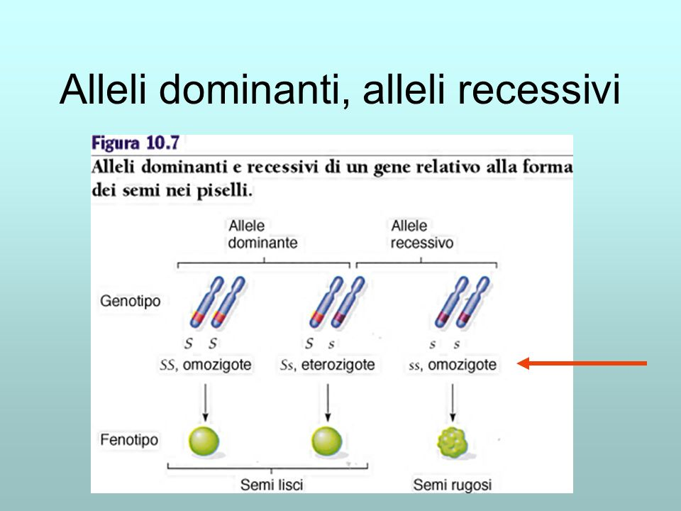 Alleli dominanti, alleli recessivi