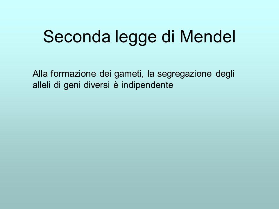 Seconda legge di Mendel Alla formazione dei gameti, la segregazione degli alleli di geni diversi è indipendente