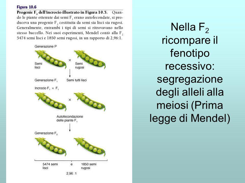 Nella F 2 ricompare il fenotipo recessivo: segregazione degli alleli alla meiosi (Prima legge di Mendel)