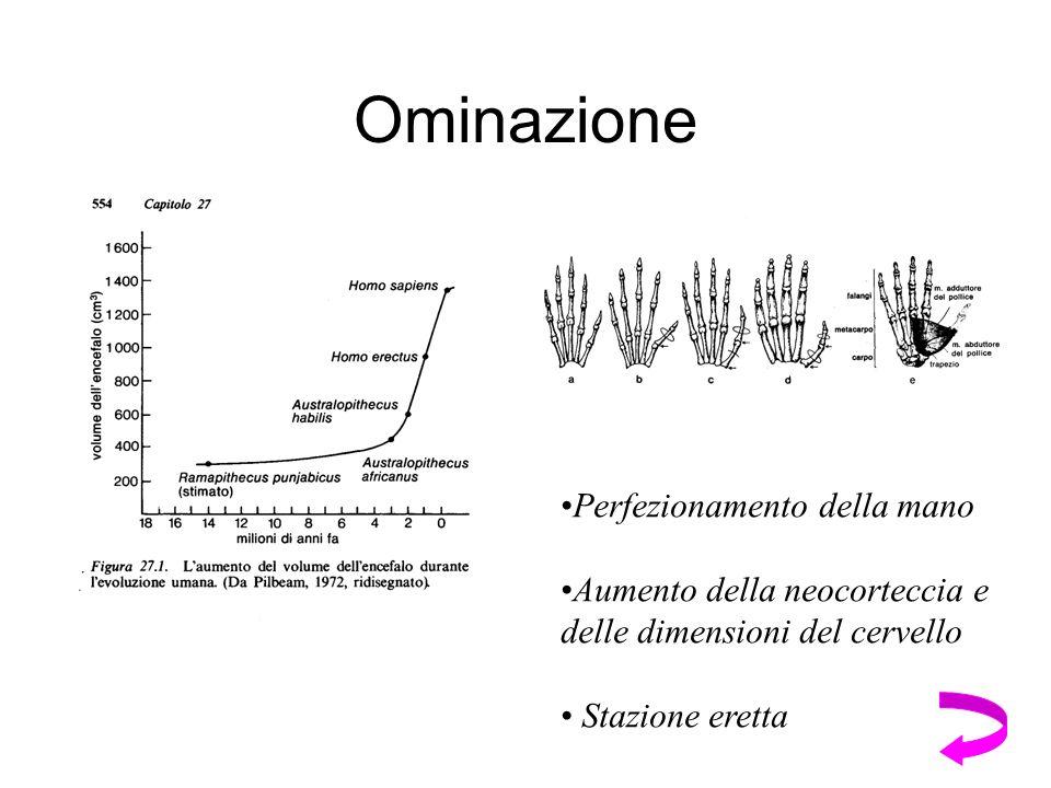 Ominazione Perfezionamento della mano Aumento della neocorteccia e delle dimensioni del cervello Stazione eretta
