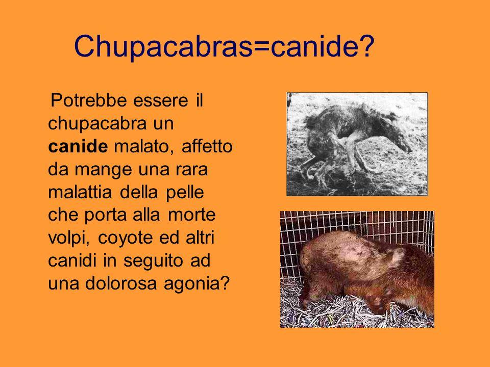 Chupacabras=canide? Potrebbe essere il chupacabra un canide malato, affetto da mange una rara malattia della pelle che porta alla morte volpi, coyote