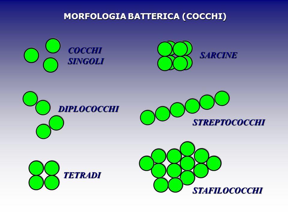 MORFOLOGIA BATTERICA (COCCHI) COCCHI SINGOLI DIPLOCOCCHI TETRADI SARCINE STREPTOCOCCHI STAFILOCOCCHI