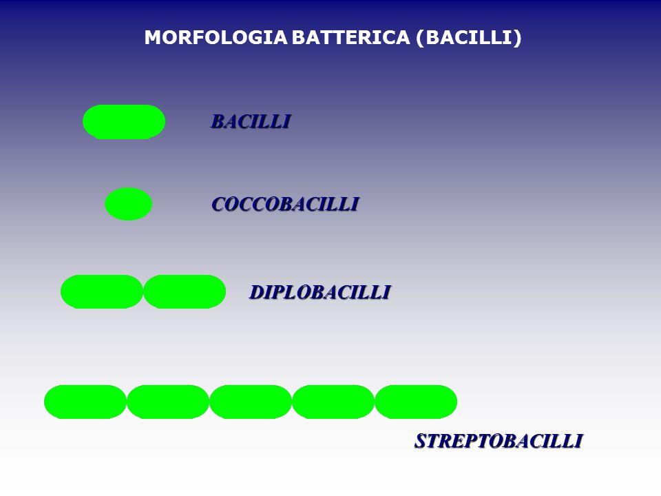 MORFOLOGIA BATTERICA (BACILLI) BACILLI COCCOBACILLI DIPLOBACILLI STREPTOBACILLI