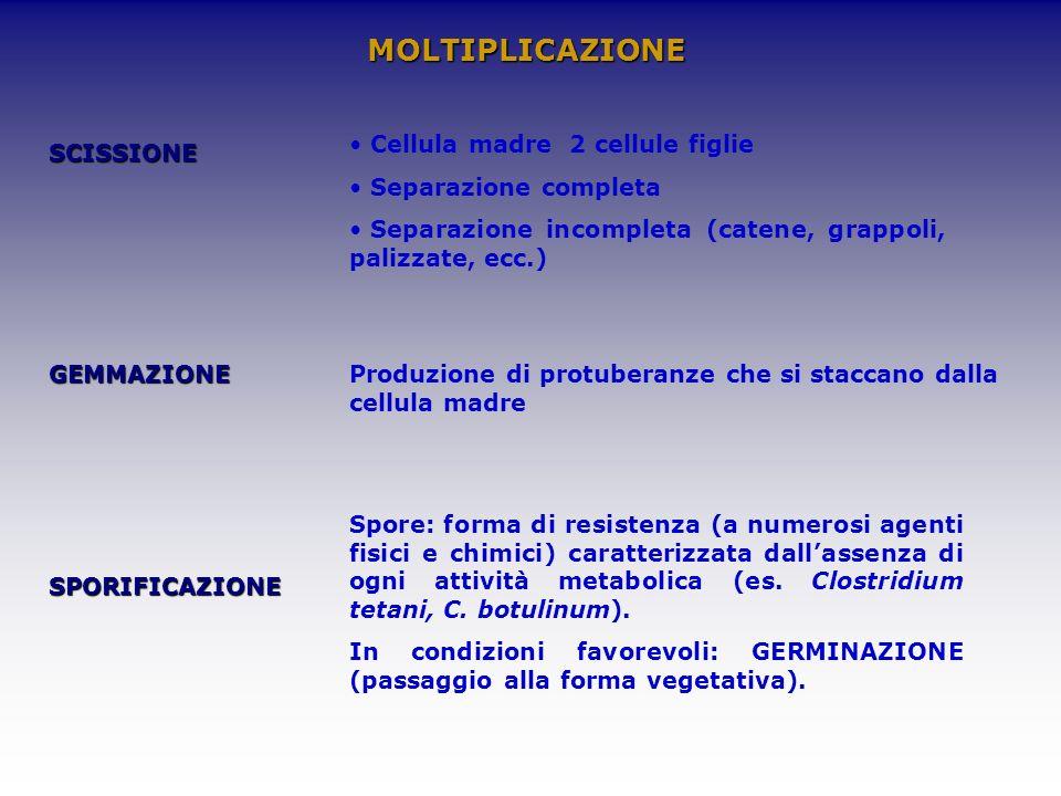 MOLTIPLICAZIONE SCISSIONE Cellula madre 2 cellule figlie Separazione completa Separazione incompleta (catene, grappoli, palizzate, ecc.) GEMMAZIONEPro