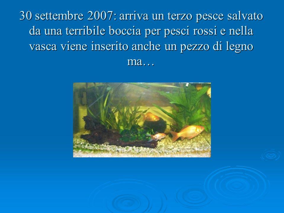 30 settembre 2007: arriva un terzo pesce salvato da una terribile boccia per pesci rossi e nella vasca viene inserito anche un pezzo di legno ma…