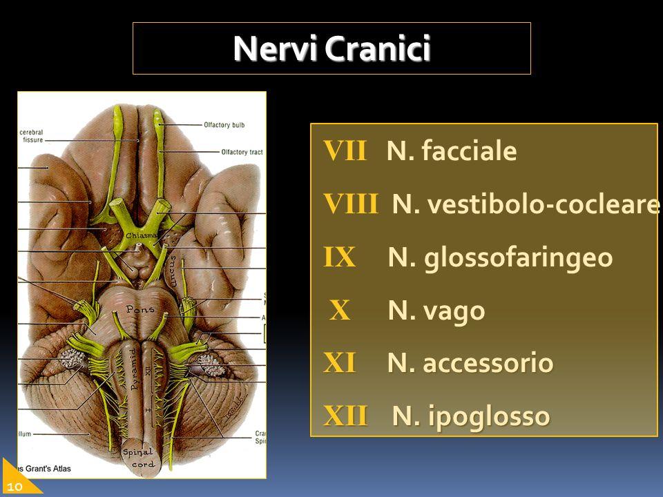 Nervi Cranici VII N. facciale VIII N. vestibolo-cocleare IX N. glossofaringeo X N. vago X N. vago XI N. accessorio XII N. ipoglosso 10