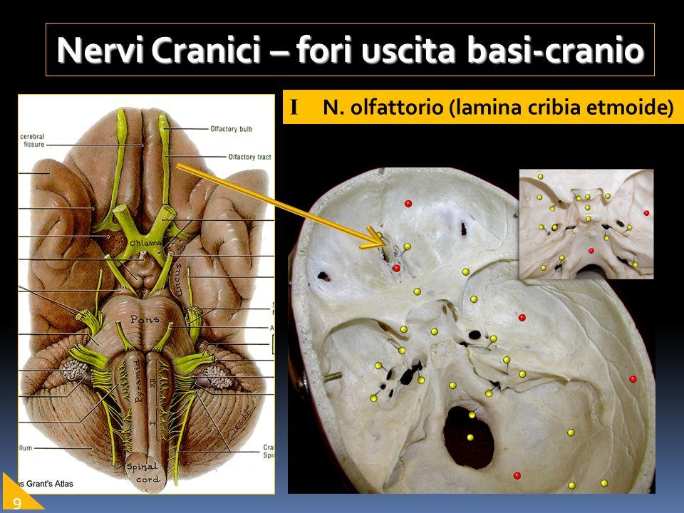 Nervi Cranici – fori uscita basi-cranio I N. olfattorio (lamina cribia etmoide) 9