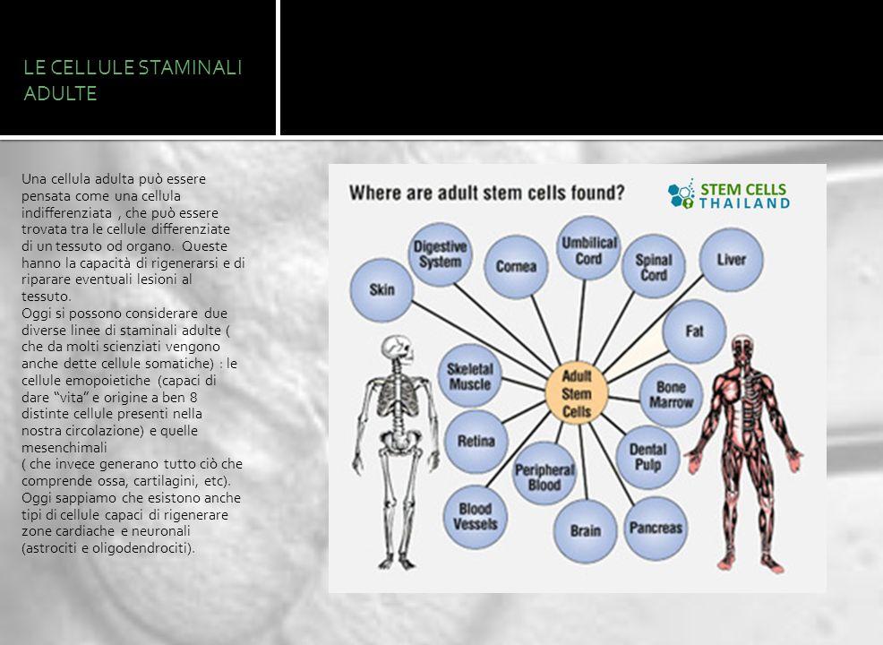 LE CELLULE STAMINALI ADULTE Una cellula adulta può essere pensata come una cellula indifferenziata, che può essere trovata tra le cellule differenziat